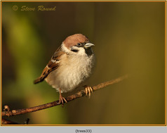 tree-sparrow-33.jpg