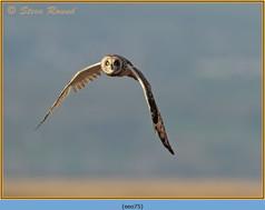 short-eared-owl-75.jpg