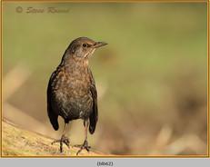 blackbird-62.jpg