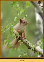 red-squirrel-24.jpg