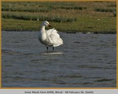 bewick's-swan-04.jpg