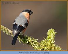bullfinch-66.jpg