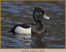tufted-duck-11.jpg