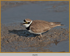 little-ringed-plover-24.jpg