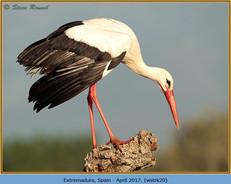 white-stork-20.jpg