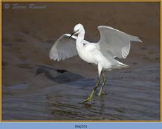 little-egret-55.jpg