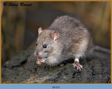 brown-rat-23.jpg