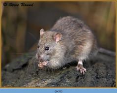 brown-rat-23.jpg