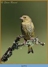 greenfinch-71.jpg