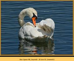 mute-swan-01.jpg