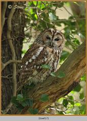 tawny-owl-17.jpg