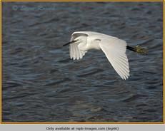 little-egret-46.jpg