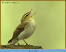 wood-warbler-57.jpg