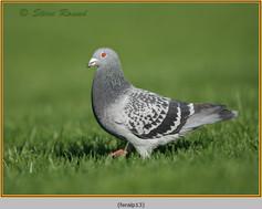 feral-pigeon-13.jpg