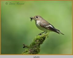 pied-flycatcher-40.jpg