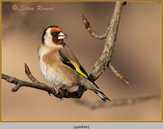goldfinch-46.jpg