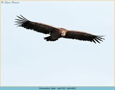 griffon-vulture-81.jpg