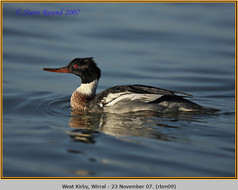red-breasted-merganser-09.jpg