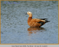 ruddy-shelduck-02.jpg