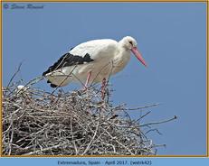 white-stork-42.jpg