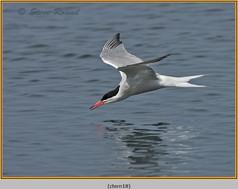 common-tern-18.jpg