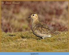 golden-plover-37.jpg