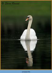 mute-swan-34.jpg