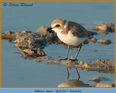 kentish-plover-20.jpg