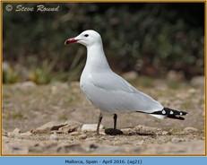 audouin's-gull-21.jpg