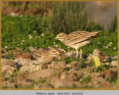 stone-curlew-10.jpg