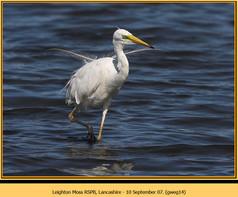 great-white-egret-14.jpg