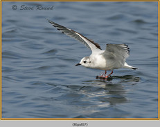 little-gull-07.jpg