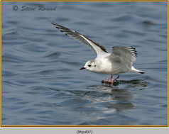 little-gull-07.jpg