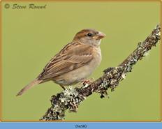 house-sparrow-58.jpg