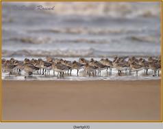 bar-tailed-godwit-03.jpg
