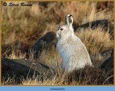 mountain-hare-10.jpg