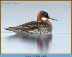 red-necked-phalarope-44.jpg