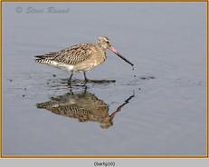 bar-tailed-godwit-10.jpg