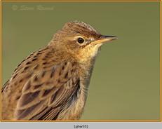 grasshopper-warbler-55.jpg