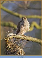 sparrowhawk-12.jpg