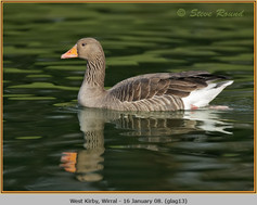 greylag-goose-13.jpg