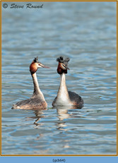 great-crested-grebe-64.jpg