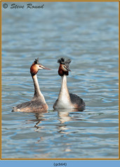 great-crested-grebe-64.jpg
