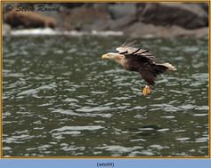 white-tailed-eagle-09.jpg