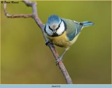 blue-tit-153.jpg
