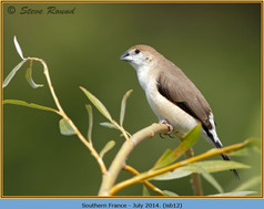 indian-silverbill-12.jpg
