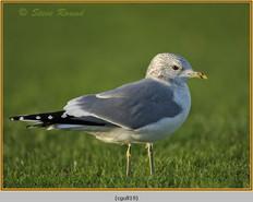 common-gull-19.jpg