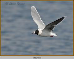 little-gull-16.jpg