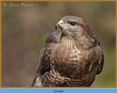 buzzard- 86.jpg