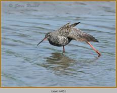 spotted-redshank-05.jpg